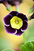 POPS PLANTS AURICULAS, HAMPSHIRE: CLOSE UP OF PRIMULA AURICULA MOLLIE LANGFORD