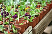 POPS PLANTS AURICULAS, HAMPSHIRE: POTS OF PRIMULA AURIULA