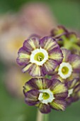 POPS PLANTS AURICULAS, HAMPSHIRE: CLOSE UP OF PRIMULA AURICULA FLUFFY DUCKLING