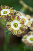 POPS PLANTS AURICULAS, HAMPSHIRE: CLOSE UP OF PRIMULA AURICULA LADY PENELOPE SITWELL