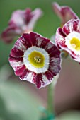 POPS PLANTS AURICULAS, HAMPSHIRE: CLOSE UP OF PRIMULA AURICULA REDWIRE