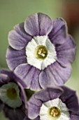 POPS PLANTS AURICULAS, HAMPSHIRE: CLOSE UP OF PRIMULA AURICULA MARRY ME