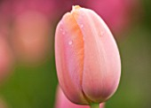 THE LAND GARDENERS, WARDINGTON MANOR, OXFORDSHIRE: CLOSE UP PLANT PORTRAIT OF TULIP - TULIPA APRICOT IMPRESSION - PINK, FLOWER, SPRING, BULB