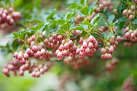 CLOSE_UP_OF_ENKIANTHUS_CAMPANULATUS__REDVEIN_ENKIANTHUS__DECIDUOUS_SHRUB