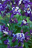 CLOSE UP OF AQUILEGIA WINKY FORMULA MIXTURE