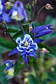 CLOSE UP OF AQUILEGIA WINKY BLUE AND WHITE