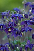 CLOSE UP OF AQUILEGIA ROYAL PURPLE