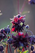 CLOSE UP OF AQUILEGIA BLACK BARLOW SEED