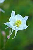 CLOSE UP OF AQUILEGIA KRISTALL