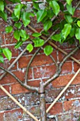 PENNARD PLANTS, SOMERSET: CIRCULAR TRAINED PEAR AGAINST WALL - PYRUS DOYENNE DU COMICE