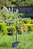 PENNARD PLANTS, SOMERSET: FAN TRAINED APPLE TREE - MALUS ESPALIER FLANDERS