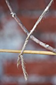 PENNARD PLANTS, SOMERSET: CLOSE UP OF STRING TIED TO FIG - FICUS CARIA ICE CRYSTAL