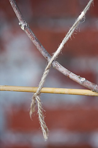 PENNARD_PLANTS_SOMERSET_CLOSE_UP_OF_STRING_TIED_TO_FIG__FICUS_CARIA_ICE_CRYSTAL
