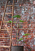 PENNARD PLANTS, SOMERSET: FIG - FICUS CARIA ICE CRYSTAL -BESIDE A LADDER