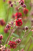THE OLD VICARAGE, WORMLEIGHTON, WARWICKSHIRE: DESIGNER ANGEL COLLINS - AQUILEGIA VULGARIS VAR STELLATA RUBY PORT - GRANNYS BONNET, COLUMBINE, DEEP RED, PERENNIAL, FLOWER, SUMMER