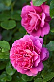 RHS GARDEN, WISLEY, SURREY: DAVID AUSTIN ROSE - ROSA PRINCESS ANNE ( AUSKITCHEN ) - JUNE, SCENT, SCENTED, PINK