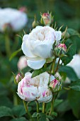 RHS GARDEN, WISLEY, SURREY: DAVID AUSTIN ROSE - ROSA WINCHESTER CATHEDRAL ( AUSCAT ) - SCENT, SCENTED, FRAGRANT, WHITE
