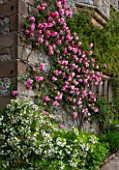 HADDON HALL, DERBYSHIRE: ROSE AND CHOISYA TERNATA AZTEC PEARL BESIDE THE CHAPEL WALL