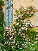 ABLINGTON MANOR  GLOUCESTERSHIRE: CLIMBING ROSE - ROSA FRANCOIS JURANVILLE - GROWING AGAINST MANOR HOUSE FRONT. CLASSIC COUNTRY GARDEN  JUNE  SUMMER  ROMANCE  ROMANTIC  WINDOW