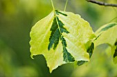 ABLINGTON MANOR  GLOUCESTERSHIRE: CLOSE UP OF THE VARIEGATED LEAF OF TULIP TREE-  LIRIODENDRON TULIPIFERA AUREOMARGINATA - LEAVES  DECIDUOUS  GREEN   JUNE  FOLIAGE  SUMMER