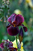 ABLINGTON MANOR  GLOUCESTERSHIRE: CLOSE UP OF THE PURPLE - MAROON FLOWER OF IRIS SENLAC   JUNE  SUMMER  FLOWER  ROMANTIC  SULTRY