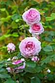 ABLINGTON MANOR  GLOUCESTERSHIRE: CLOSE UP OF THE PINK FLOWERS OF ROSE - ROSA CHARLES RENNIE MACKINTOSH -  JUNE  SUMMER  FLOWER  ROMANTIC  ENGLISH  ROMANCE  FRAGRANT