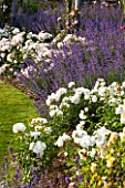GREAT FOSTERS, SURREY: THE ROSE GARDEN IN JUNE: CATMINT - NEPETA FAASSENII AND ROSES. FORMAL, SUMMER, ENGLISH GARDEN, ROSES, CLASSIC, ROMANTIC, BORDER, PURPLE, BLUE, WHITE