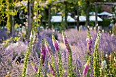 GREAT FOSTERS, SURREY: THE ROSE GARDEN IN JUNE: CATMINT - NEPETA FAASSENII AND FOXGLOVES -. FORMAL, SUMMER, ENGLISH GARDEN, CLASSIC, ROMANTIC, BORDER, PURPLE, BLUE, PINK, DIGITALIS