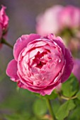 GREAT FOSTERS, SURREY: THE ROSE GARDEN IN JUNE: CLOSE UP OF SALMON / PINK FLOWER OF DAVID AUSTIN ROSE - ROSA BOSCOBEL - AUSCOUSIN. ENGLISH LEANDER HYBRID. SCENT, SCENTED, FRAGRANT