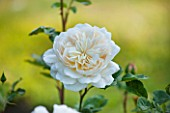 LITTLE MYNTHURST FARM, SURREY: CLOSE UP PLANT PORTRAIT OF THE WHITE FLOWER OF A  ROSE - ROSA MADAME ALFRED CARRIERE. SCENTED, FRAGRANT, SHRUBS, ROSES