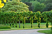 PRIVATE GARDEN, GLOUCESTERSHIRE - DESIGNER ANGEL COLLINS. POLLARDED LIMES - TILIA PLATYPHYLLOS BEIDE DRIVE - FORMAL GARDEN, LINE OF, GREEN, JULY, SUMMER, HEDGE, HEDGING