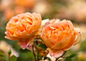 RHS GARDEN, WISLEY, SURREY:  CLOSE UP OF ORANGE DAVID AUSTIN ROSE - ROSA LADY OF SHALLOT - AUSNYSON - CLOSE UP, SCENT, SCENTED, FRAGRANT, FLOWER, PLANT PORTRAIT