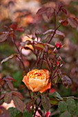 RHS GARDEN, WISLEY, SURREY:  CLOSE UP OF TANGERINE DAVID AUSTIN ROSE - ROSA LADY EMMA HAMILTON - AUSBROTHER - STANDARD, TREE ROSE, SCENT, SCENTED, FRAGRANT, FLOWER, PLANT PORTRAIT