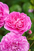 RHS GARDEN, WISLEY, SURREY:  CLOSE UP OF PINK DAVID AUSTIN ROSE - ROSA ROSEMOOR - AUSTOUGH - SCENT, SCENTED, FRAGRANT, FLOWER, PLANT PORTRAIT