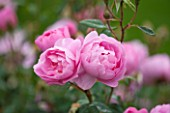 RHS GARDEN, WISLEY, SURREY:  CLOSE UP OF PINK DAVID AUSTIN ROSE - ROSA SKYLARK - AUSIMPLE - SCENT, SCENTED, FRAGRANT, FLOWER, PLANT PORTRAIT