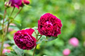RHS GARDEN, WISLEY, SURREY:  CLOSE UP OF DARK RED, CRIMSON ROSE - ROSA FALSTAFF - AUSVERSE - SCENT, SCENTED, FRAGRANT, FLOWER, PLANT PORTRAIT