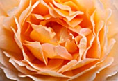 RHS GARDEN, WISLEY, SURREY:  CLOSE UP OF APRICOT DAVID AUSTIN ROSE - ROSA GRACE - AUSKEPPY - SCENT, SCENTED, FRAGRANT, FLOWER, PLANT PORTRAIT