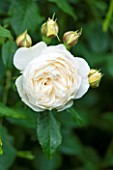 RHS GARDEN, WISLEY, SURREY:  CLOSE UP OF WHITE DAVID AUSTIN ROSE - ROSA CLAIRE AUSTIN - AUSPRIOR - SCENT, SCENTED, FRAGRANT, FLOWER, PLANT PORTRAIT