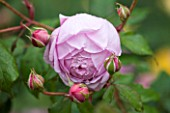 RHS GARDEN, WISLEY, SURREY:  CLOSE UP OF PINK DAVID AUSTIN ROSE - ROSA ALAN TITCHMARSH - SCENT, SCENTED, FRAGRANT, FLOWER, PLANT PORTRAIT