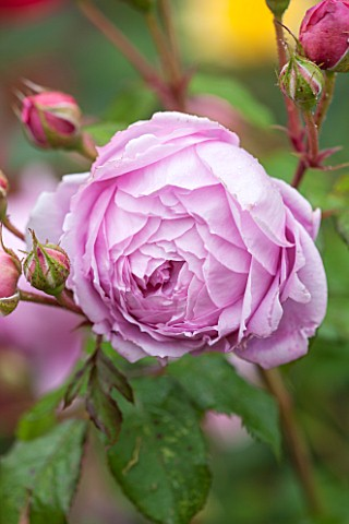 RHS_GARDEN_WISLEY_SURREY__CLOSE_UP_OF_PINK_DAVID_AUSTIN_ROSE__ROSA_ALAN_TITCHMARSH__SCENT_SCENTED_FR