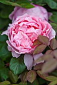 RHS GARDEN, WISLEY, SURREY:  CLOSE UP OF PINK DAVID AUSTIN ROSE -  ROSA BROTHER CADFAEL -  AUSGLOBE - SCENT, SCENTED, FRAGRANT, FLOWER, PLANT PORTRAIT