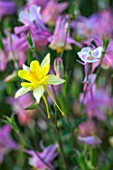 PETTIFERS GARDEN, OXFORDSHIRE: YELLOW FLOWER OF AQUILEGIA CHRYSANTHA - PERENNIAL, CLOSE UP, EARLY MORNING LIGHT -