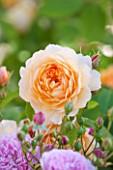 DAVID AUSTIN ROSES, ALBRIGHTON, WEST MIDLANDS: CLOSE UP OF APRICOT FLOWER OF DAVID AUSTIN ROSE - ROSA GRACE - AUSKEPPY . SCENT, SCENTED, FRAGRANT, JUNE, SUMMER,  LEANDER HYBRID