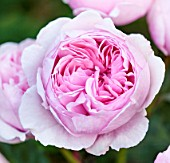 DAVID AUSTIN ROSES, ALBRIGHTON, WEST MIDLANDS: CLOSE UP OF PINK FLOWER OF DAVID AUSTIN ROSE - ROSA GEOFF HAMILTON - AUSHAM - SCENT, SCENTED, FRAGRANT, JUNE, SUMMER