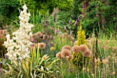 RHS GARDEN WISLEY, SURREY: BORDER WITH ALLIUM GLOBEMASTER SEED HEADS IN JULY  WITH YUCCA FILAMENTOSA GARLANDS GOLD - SUMMER, BULB, PERENNIAL