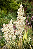 RHS GARDEN WISLEY, SURREY: IVORY, WHITE, CREAM FLOWERS OF YUCCA FILAMENTOSA GARLANDS GOLD - SUMMER, JULY. FLOWER, PLANT PORTRAIT