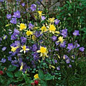 YELLOW AQUILEGIAS (UNNAMED VARIETY). AND CAMPANULA PERSICIFOLIA        MOTTISFONT ABBEY  HAMPSHIRE.