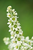 RHS GARDEN WISLEY, SURREY: CLOSE UP PLANT PORTRAIT OF WHITE/ GREEN FLOWERS OF VERATRUM ALBUM, FLOWER, JULY, SUMMER