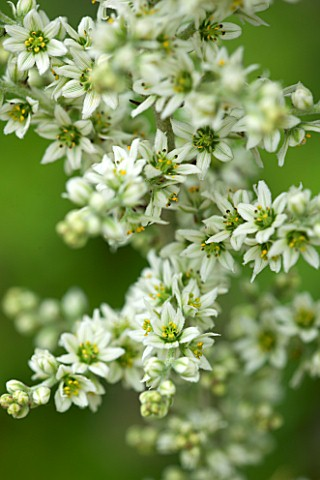 RHS_GARDEN_WISLEY_SURREY_CLOSE_UP_PLANT_PORTRAIT_OF_WHITE_GREEN_FLOWERS_OF_VERATRUM_ALBUM_FLOWER_JUL