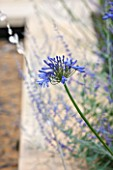 PRIVATE GARDEN, GLOUCESTERSHIRE - DESIGNER ANGEL COLLINS. CLOSE UP OF AGAPANTHUS AFRICANUS BLUE MOON - PLANT PORTRAIT, PERENNIAL, BLUE, FLOWER
